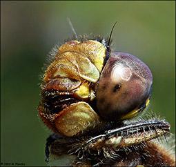 insetto_maschio