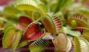La foto viene da qui: http://giustoacaso.it/pianta-carnivora.html